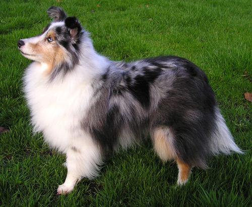 Shetland Sheepdog
