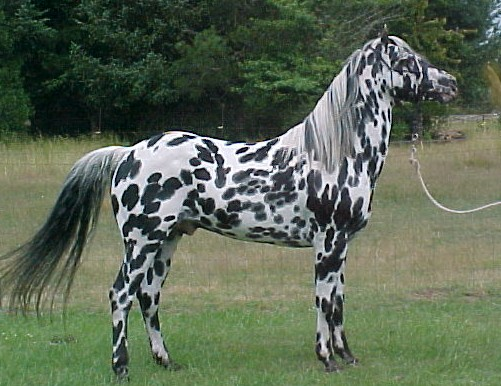 Pictures and Names (Bios coming soon!) Appaloosa