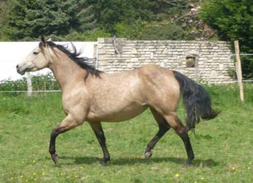 mtm_american-quarter-horse_2