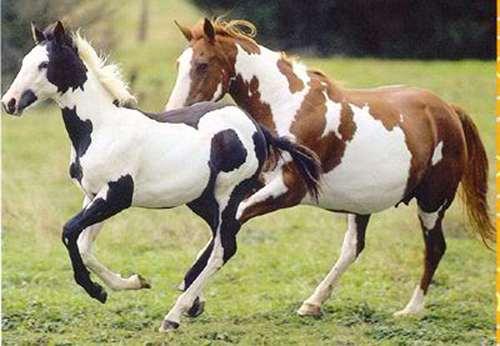 paint_horse