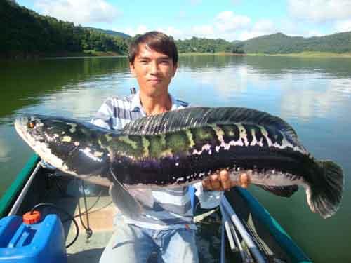 9. Killer Snakehead