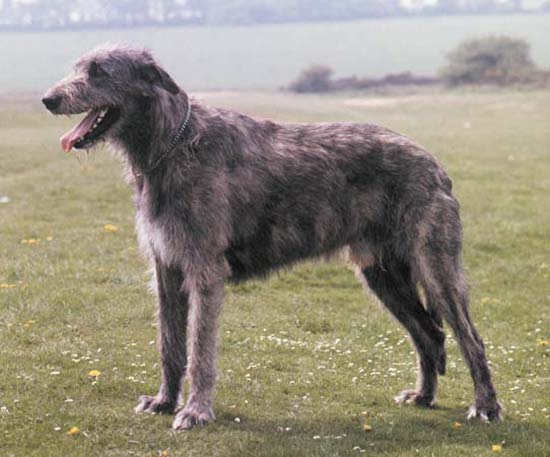 1. Irish Wolfhound (Minimum Height 32 inches)