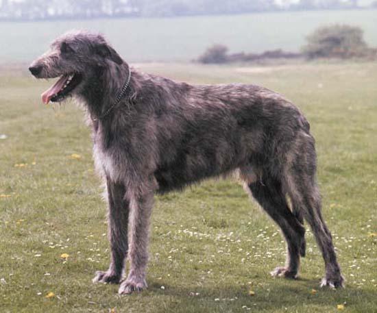 1. Irish Wolfhound (Minimum Height 32 inches)