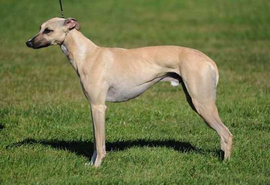 10. Whippet (19-22 inches)