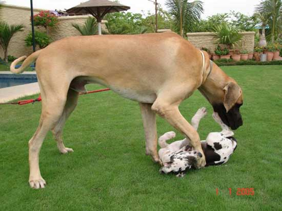 2. Great Dane (around 37- 40 inches)