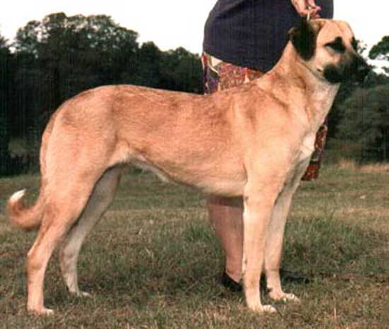 4. Anatolian Shepherd (28-33 inches)