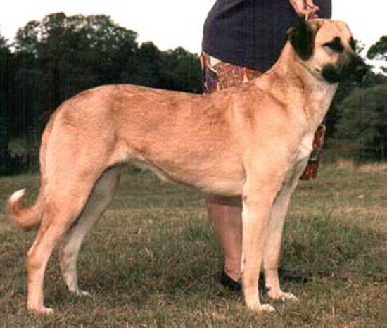 Dog Breed Anatolian Shepherd Top 10 Largest Dog Breeds In The | Dog ...