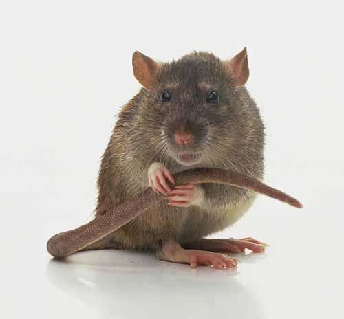 4. Rats