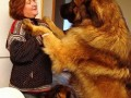 5. Leonberger (28-31.5 inches)