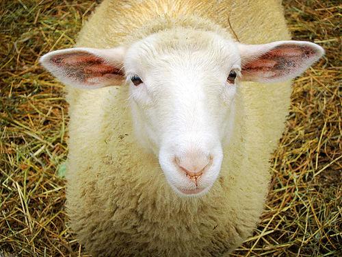 8. Sheep