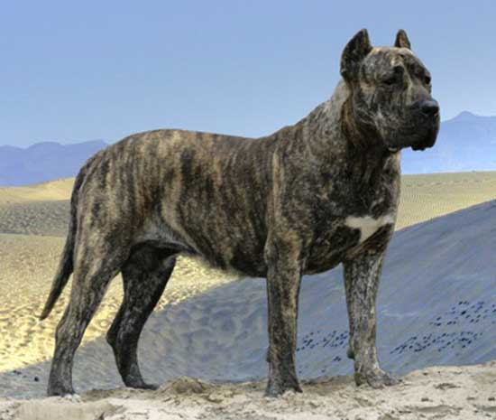 9. Perro de Presa Canario (21-25 inches)